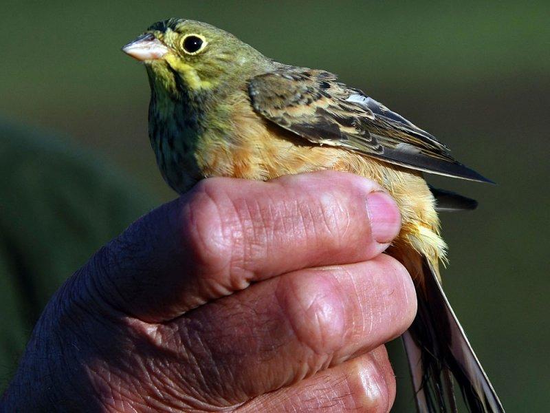 身形十分嬌小的圃鵐,有著綠黃相間的羽毛,是許多法國老饕夢��以求的珍饈.JPG