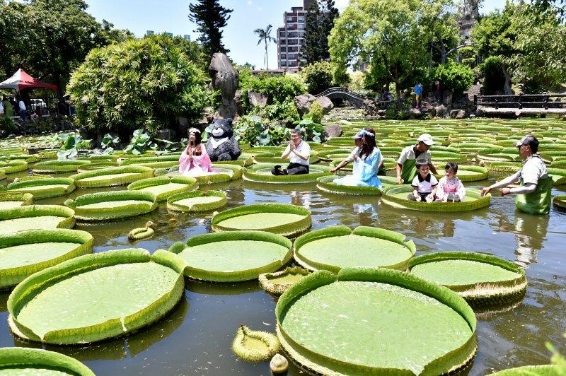 北市府公園處在雙溪公園培育逾百株大王蓮,開放民眾體驗乘坐。(台北市政府提供)