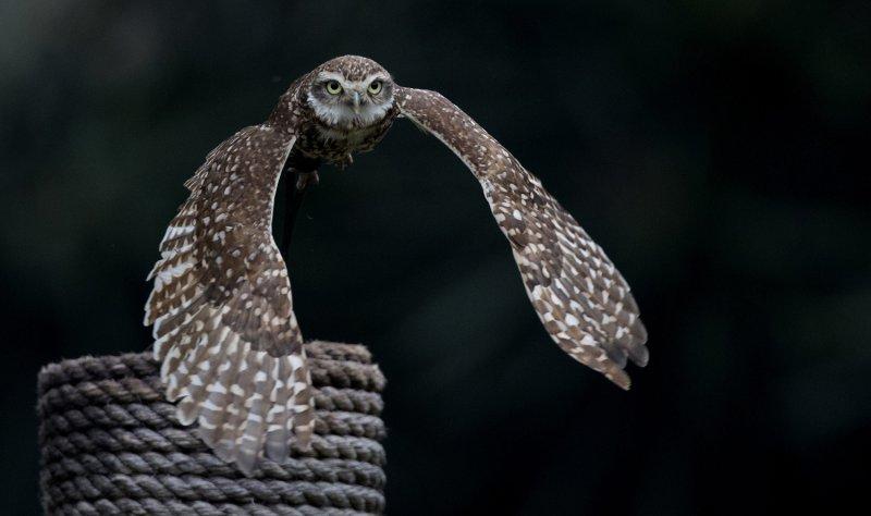 貓頭鷹需要飛翔空間,狹小的人類住處不適合飼養。(美聯社)