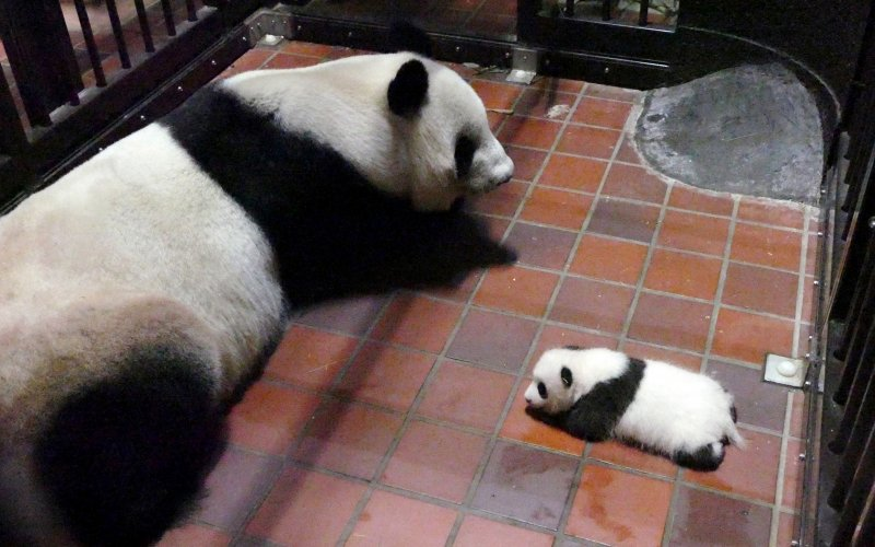 日本上野動物園的大貓熊真真6月順利產子。(美聯社)