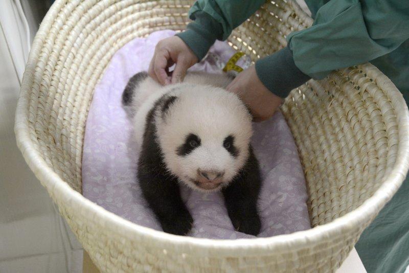 日本上野動物園的貓熊寶寶剛滿2個月,預計在滿100天時要為他取名。(美聯社)