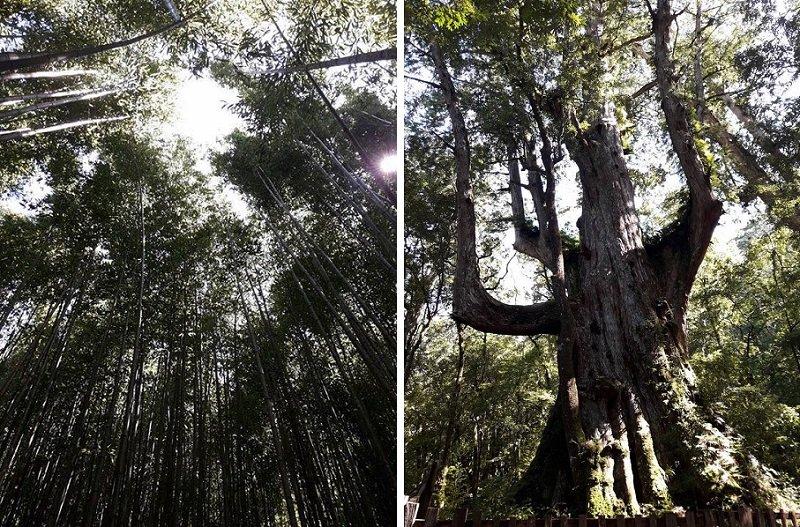 司馬庫斯的參天大樹。(寇延丁提供)