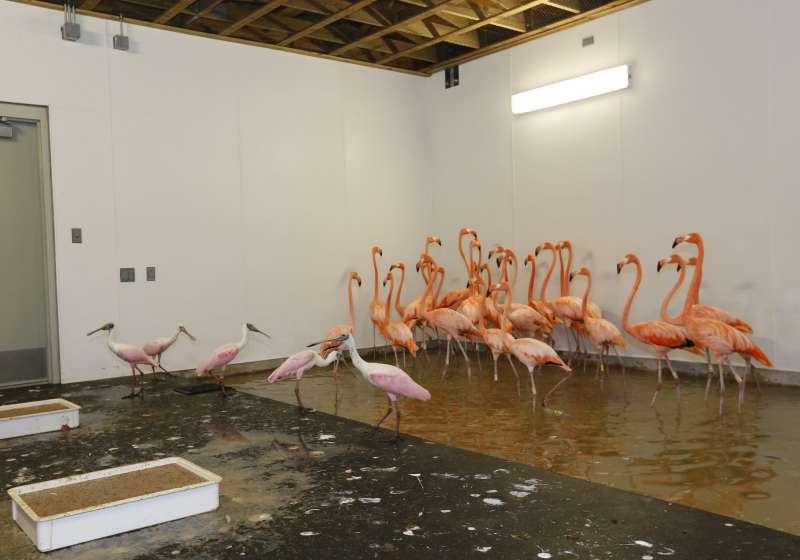2017年9月,艾瑪颶風侵襲美國佛羅達州,各地動物園也忙著安排動物避難(AP)