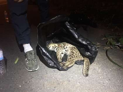 彰化20年來接獲第一筆石虎遭路殺紀錄,研究人員確認為石虎後將其屍體帶回。(楊順宇提供)