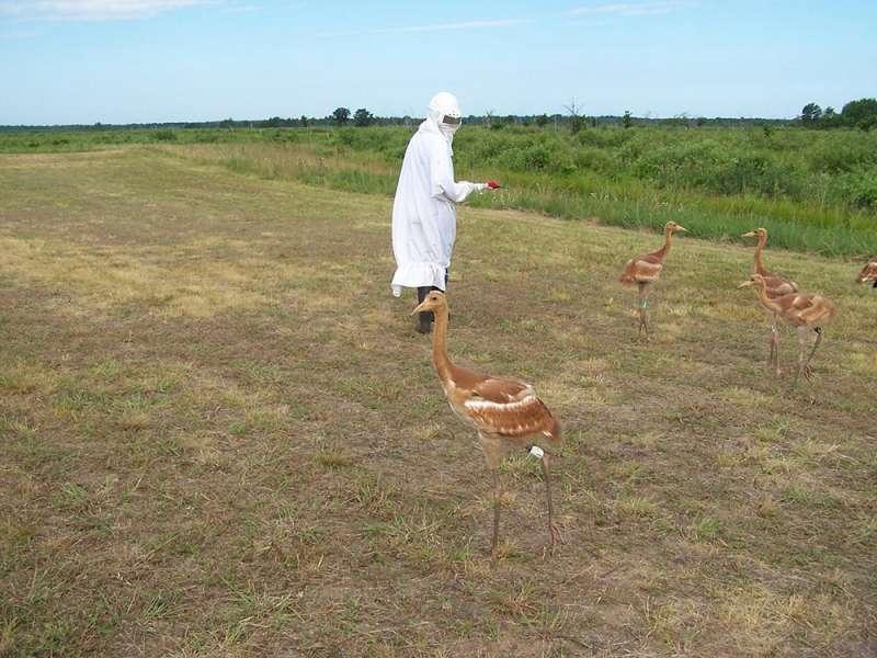 保育人員在接觸美洲鶴時,必須假扮成鶴。(取自帕圖森野生動物研究中心)
