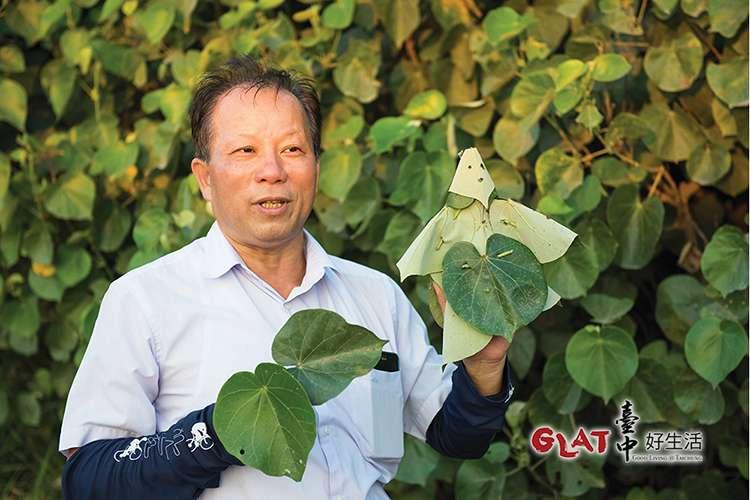 黃槿不僅保護村民免受風沙,過去葉子被用來作如廁用的衛生紙,老人家用來墊底蒸草仔粿,枝幹當材燒,可說貢獻良多。現在生態解說志工林明德用巧手把葉子化成布袋戲偶。(圖/台中好生活提供)