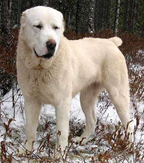 10月10日前蘇聯國家峰會,普京獲贈一隻中亞牧羊犬為生日禮物。(圖/Gsicard@wikipediaCCBYSA3.0)