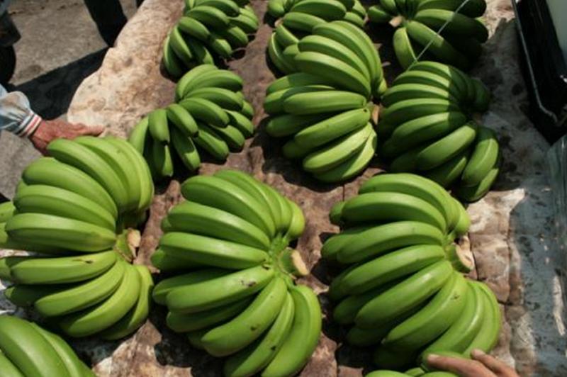 今年10月香蕉正式回到崩盤的老路。(王繼維提供)