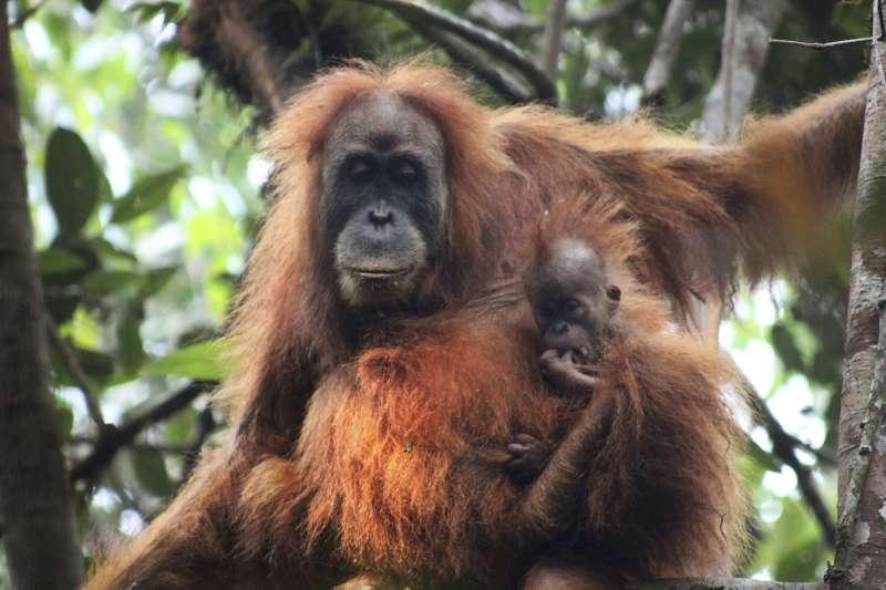 紅毛猩猩整體生育率低,通常由雌性照顧後代。(美聯社)