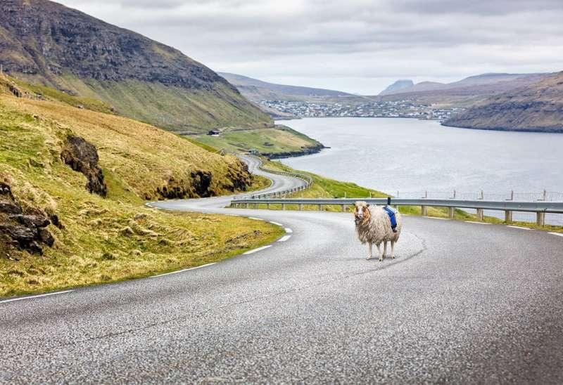 丹麥法羅群島上的街景羊。(取自www.visitfaroeislands.com)