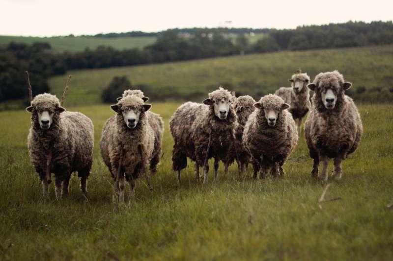 研究發現綿羊比人類想像得聰明許多,可能還會分辨人臉。(圖/Ariana Prestes@Unsplash)