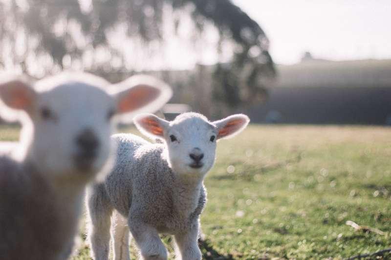 研究發現綿羊比人類想像得聰明許多,可能還會分辨人臉。(圖/Tim Marshall@Unsplash)