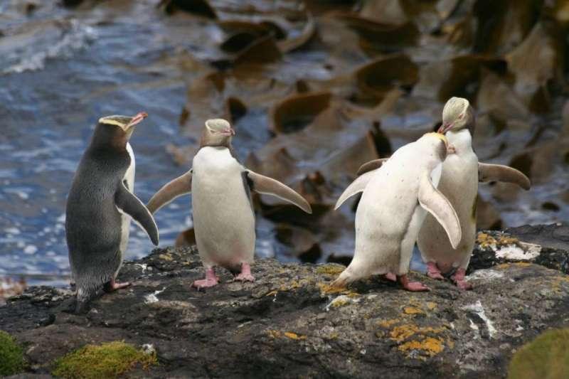 原生紐西蘭的黃眼企鵝數量急遽減少,面臨重大危機。(圖截自「紐西蘭鳥類數位百科」New Zealand Birds Online)