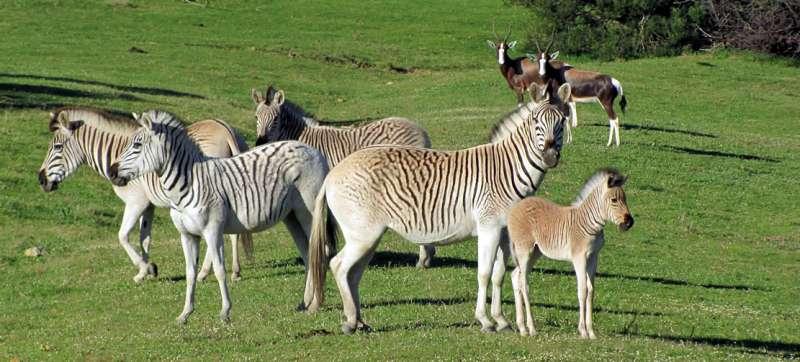 南非科學家人工選殖平原斑馬,培育出絕種的班驢。(圖截自「班驢計畫」網站)