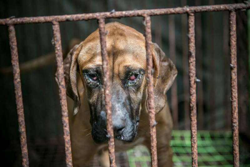 南韓狗肉農場經營困難,同意接受動保團體補助後關閉農場。(圖/Human Society International粉專)