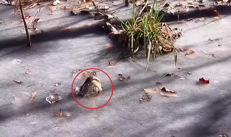 露出冰面的鱷魚吻部。(圖/取自Youtube)