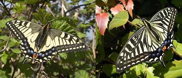 左:金鳳蝶,右:柑橘鳳蝶(註意前翅內側花紋)。(圖/http://www.insects.jp/kon-tyoageha.htm)