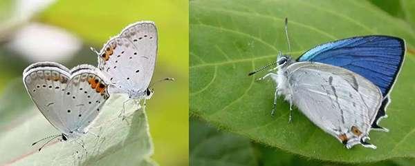 左:藍灰蝶;右:艷灰蝶本尊(註意本尊艷灰蝶後翅內側無斑點,可以與其他的常見灰蝶區分,原作中後翅內側也無明顯斑,至於那個紅斑,就當被擋住了吧)。(圖/http://blog.yohbo.main.jp/?eid=905330)