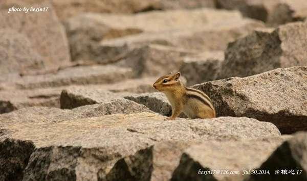 花鼠本尊(眼部周圍的條紋是它們明顯的特征,明信片中也能隱約看到松鼠們特有的大尾巴)。(圖/核心攝)