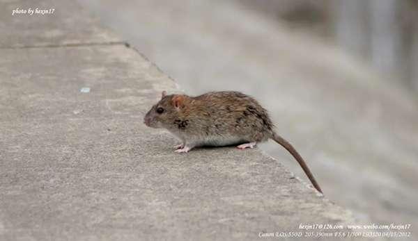 褐家鼠本尊(圖/核心攝 )