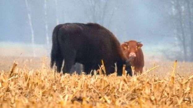 去年11月,在森林中作研究的鳥類學家第一次發現私奔的奶牛。(BBC中文網)