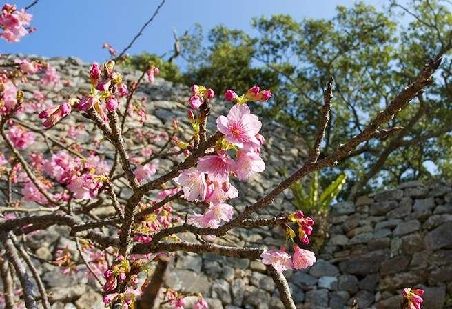 沖繩的櫻花屬於寒緋櫻,俗稱山櫻花,跟日本高人氣的染井吉野櫻相比,顏色較紅。(圖/女子學提供)