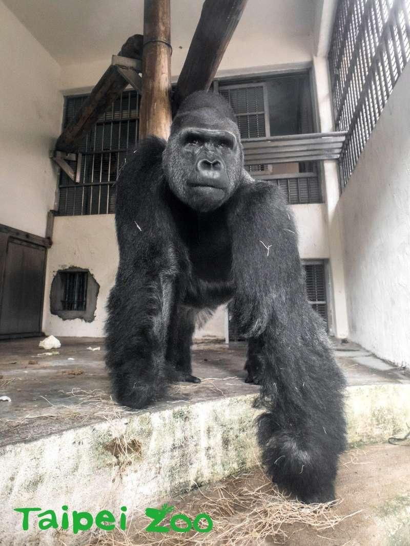 臺北動物園的金剛猩猩「寶寶」在一個月檢疫期滿後,將啟程送往荷蘭的「Apenheul Primate Park(靈長類公園)」,出任金剛猩猩繁殖群的男主人。(臺北市立動物園提供)