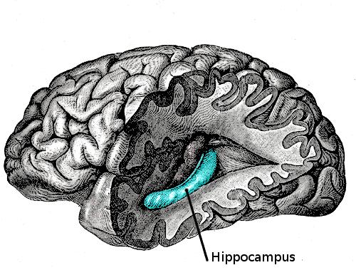 大腦的海馬迴(Looie496@Wikipedia / Public Domain)