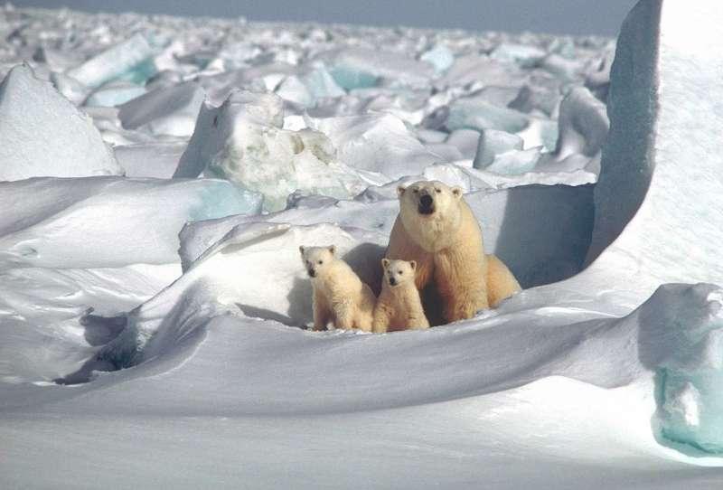 北極熊(圖/skeeze@pixabay)
