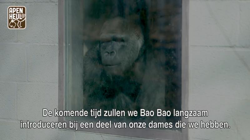 金剛猩猩「寶寶」在阿培浩爾靈長類公園好奇觀察四周。