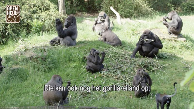 阿培浩爾靈長類公園的猩猩們。