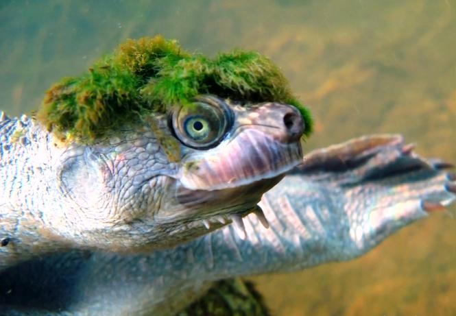隱龜的特別模樣,迅速登上全球媒體版面。(YouTube截圖)