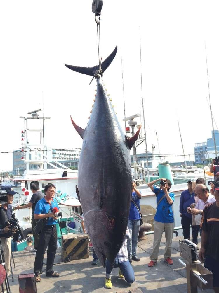 2018屏東黑鮪魚文化觀光季第一鮪確認(屏東縣政府提供)