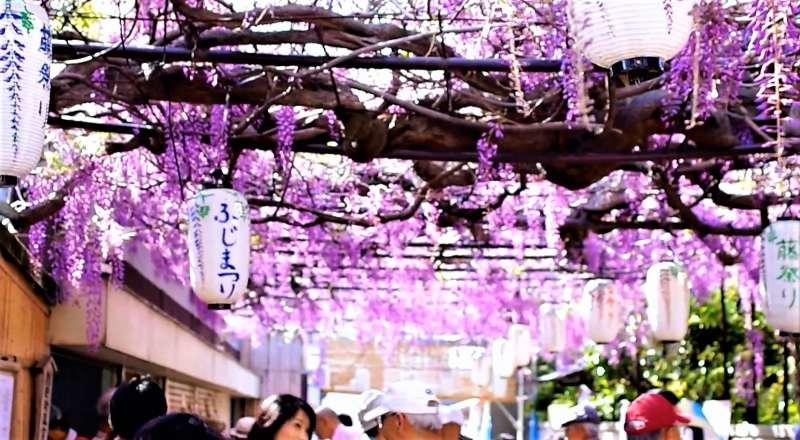 大阪泉南市的「信達宿的紫藤花」,可是著名的賞花景點。(圖/翻攝自youtube)