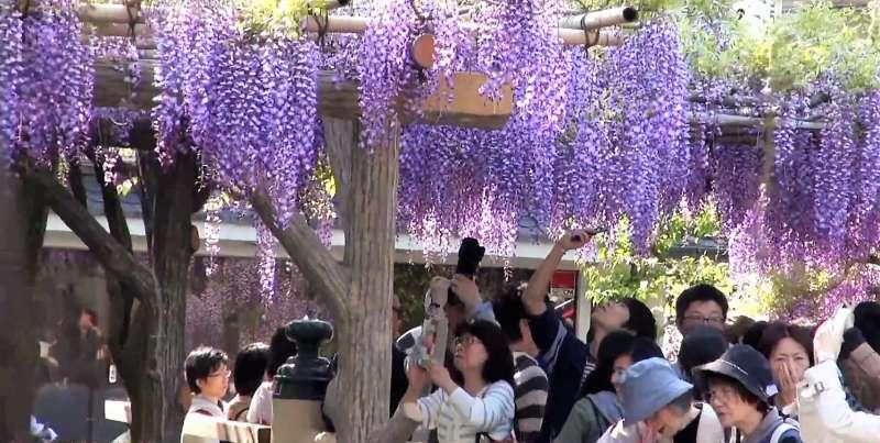 龜戶天神社的紫藤花,每年都吸引眾多遊客來訪。(圖/翻攝自youtube)