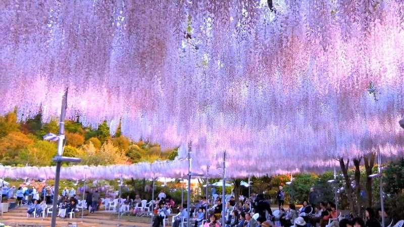 上萬串紫藤花閃耀綻放,到足利花卉公園便能欣賞到紫藤花的美。(圖/翻攝自youtube)