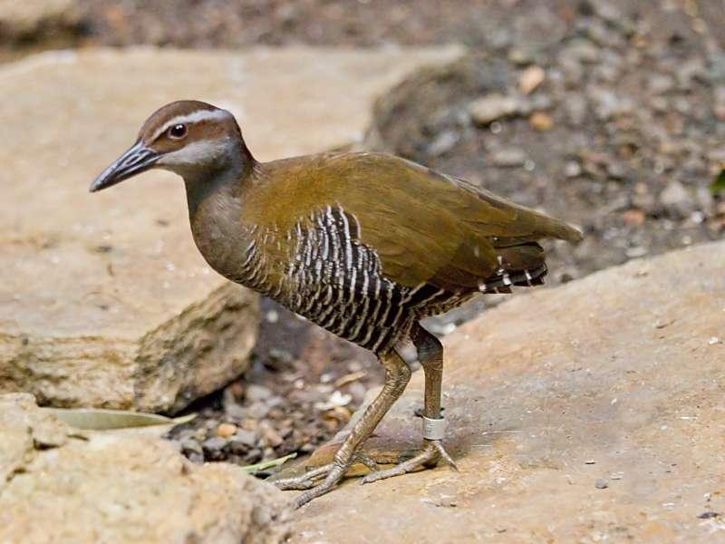 關島秧雞(Greg Hume@Wikipedia/CC BY-SA 3.0)