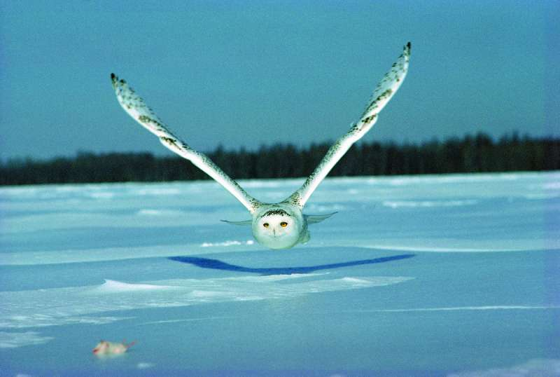 追趕獵物的雪鴞(Boréal@Wikipedia/Copyrighted free use)