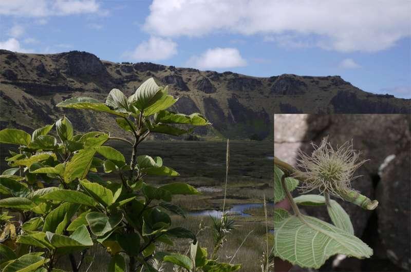 構樹的樣貌。右圖的構樹雌花序是大洋洲居民少見的景象。(圖/鍾國芳,研之有物提供)