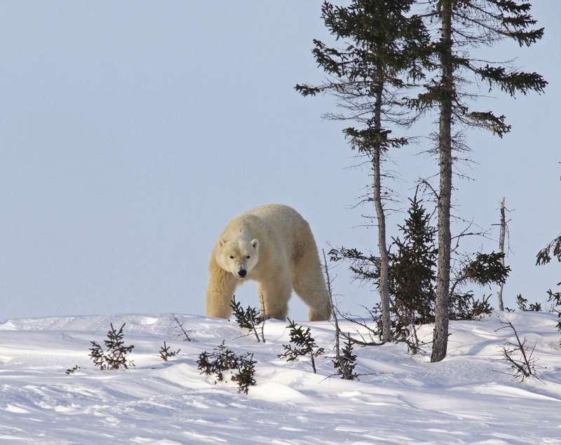 母儀天下的白熊,雍容雪浴。(圖/時報出版提供)