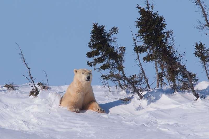從懷孕待產到生育,母熊待在洞裡七、八個月,終於重見天日了。(圖/時報出版提供)