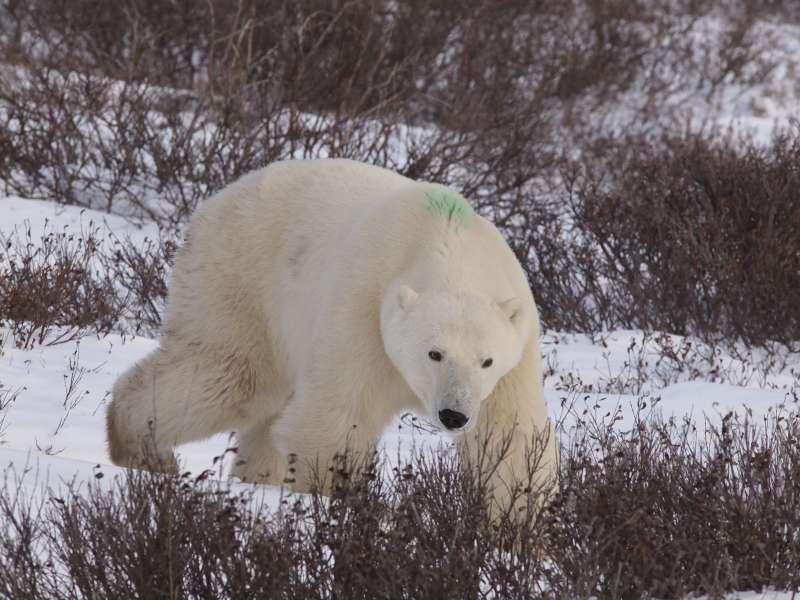 兄弟熊經「北極熊收留所」放生前,背脊特別印上綠漆。 27-3:公熊Bob看到兄弟熊,馬上拔腿就跑。