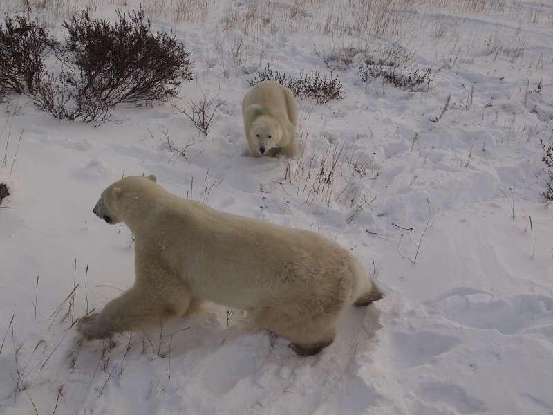 公熊Bob看到兄弟熊,馬上拔腿就跑。