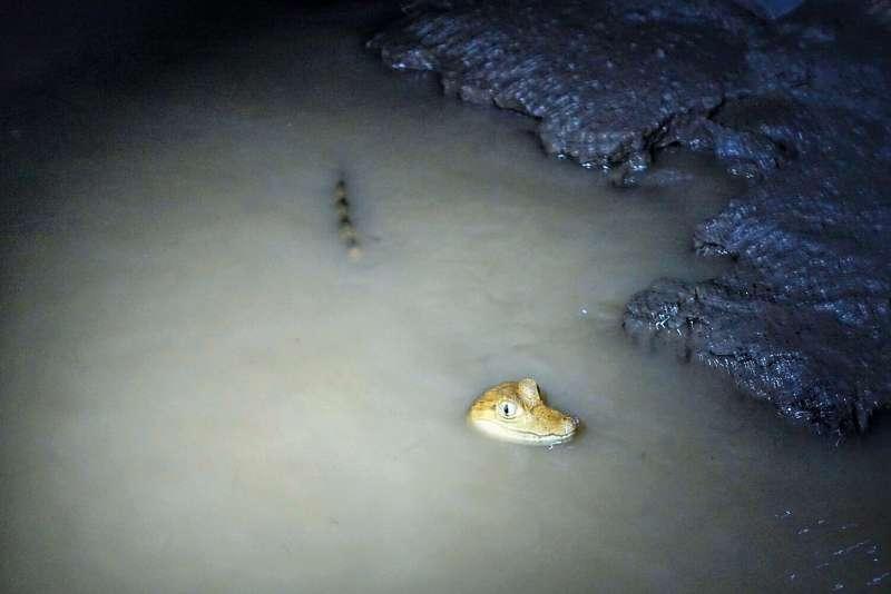 在水中游泳的南美短吻鱷寶寶。(圖/山岳出版提供)