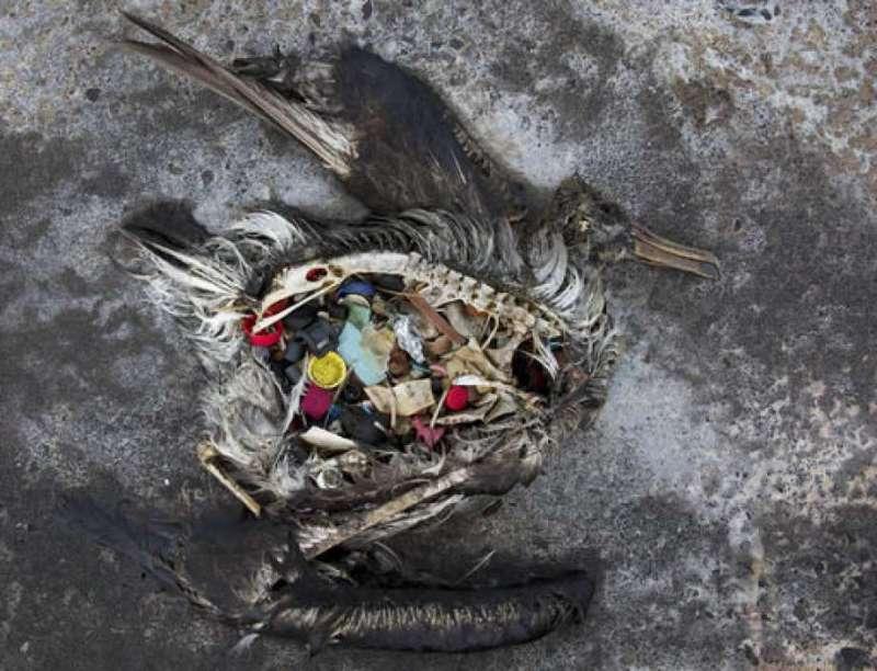 太平洋中部中途島上,一隻死亡的黑腳信天翁胃裡塞滿塑膠垃圾(美聯社)