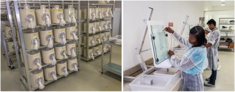 左圖為分裝好的一袋袋太監蚊,右圖則是正在挑出挑出公蚊的工作人員。(圖/智慧機器人網提供)