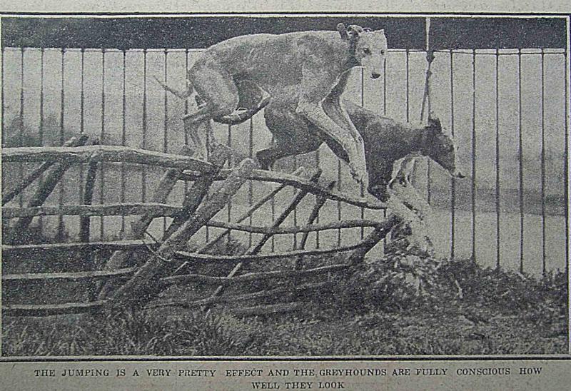 靈緹犬的身形瘦長,輕輕一躍,就優雅地跳過障礙。(圖/資料來源—North China Daily News, 28 May 1928, p.12,研之有物提供)