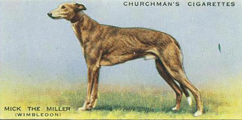 英國的運動狗明星 Mick the Miller。(圖/資料來源—Wikipedia,研之有物提供)