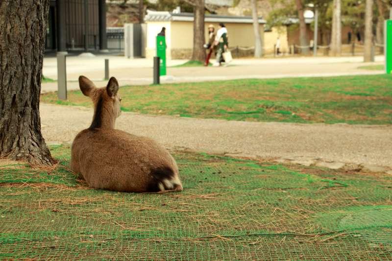 公園內休息的鹿。(圖/陳怡秀攝|想想論壇提供)