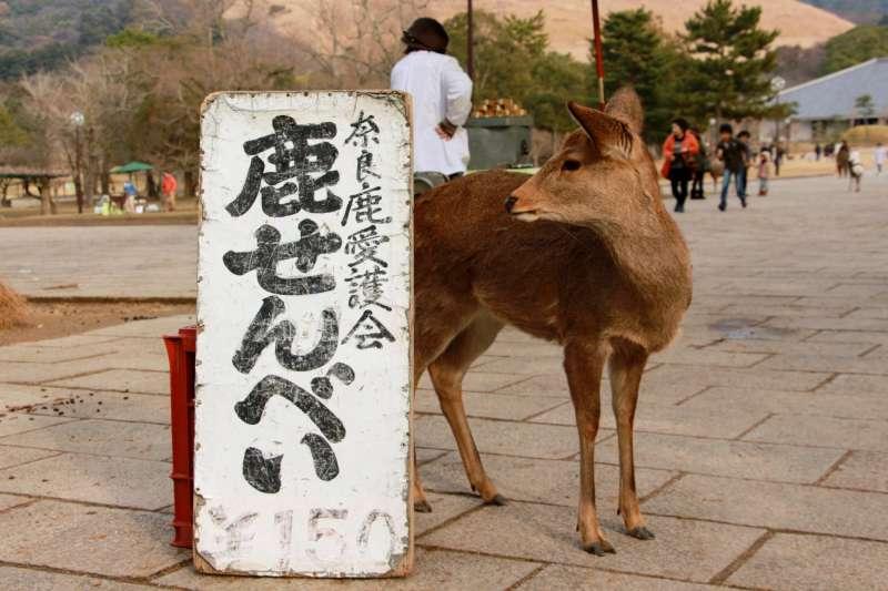 在鹿仙貝攤位附近徘徊的小鹿。(圖/陳怡秀攝|想想論壇提供)